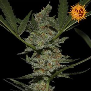 Acapulco Gold Feminized Seeds (Barney's Farm)