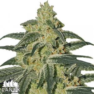 Afghan Hash Plant Feminized Seeds (Canuk Seeds) - ELITE STRAIN