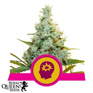 AMG - Amnesia Mac Ganja Feminized Seeds (Royal Queen Seeds)