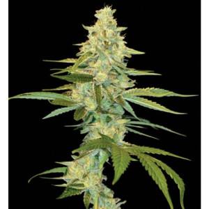 Cannalope Kush Feminized Seeds (DNA Genetics)