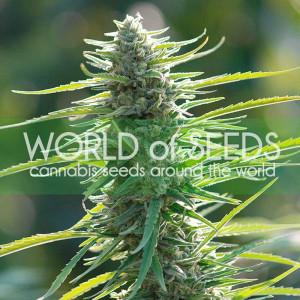 Colombian Gold REGULAR Seeds (World of Seeds)