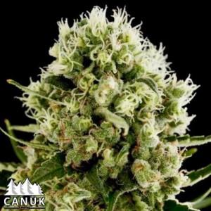 Critical Jack Fast Feminized Seeds (Canuk Seeds)