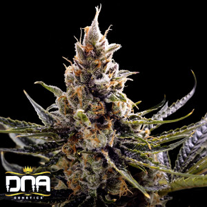24K Gold (aka Kosher Tangie) Feminized Seeds (DNA Genetics)