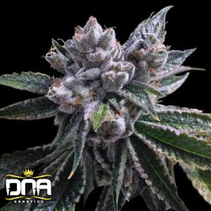 Auto El Fuego Feminized Seeds (DNA Genetics)