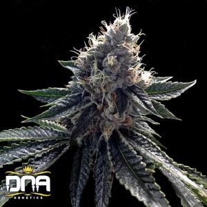 Sour Kosher Feminized Seeds (DNA Genetics)