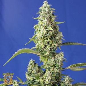 Gorilla Girl XL Auto Feminized Seeds (Sweet Seeds)
