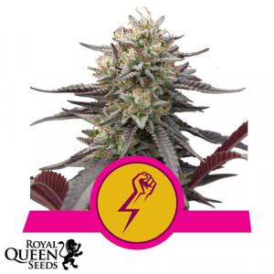 Green Crack Punch Feminized Seeds (Royal Queen Seeds)