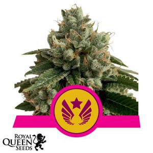 Legendary OG Punch Feminized Seeds (Royal Queen Seeds)