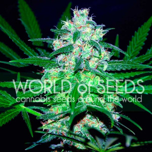Pakistan Valley REGULAR Seeds (World of Seeds)