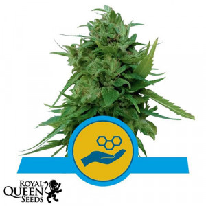 Solomatic CBD Auto Feminized Seeds (Royal Queen Seeds)