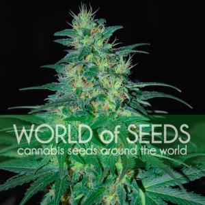 S. Africa Kwazulu REGULAR Seeds (World of Seeds)
