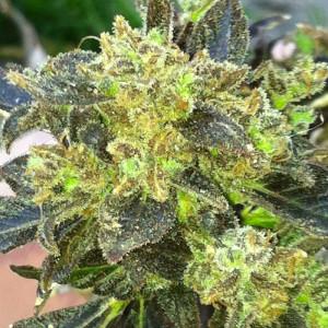 Boss Hogg Feminized Seeds (Cali Connection)