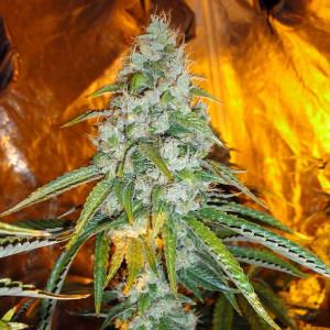 Original Sour Diesel Feminized Seeds (Cali Connection)