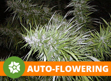 Buy Wholesale Automatic Cannabis Seeds