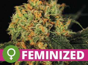 Buy Wholesale Feminized Cannabis Seeds