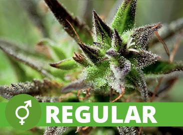 Buy Wholesale Regular Cannabis Seeds