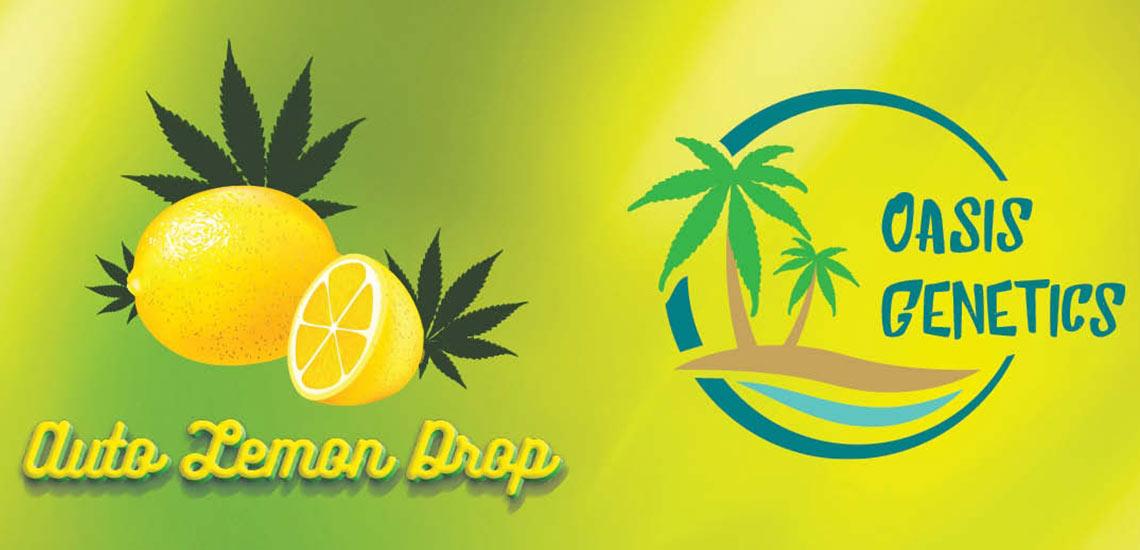 Oasis Genetics - Auto Lemon Drop