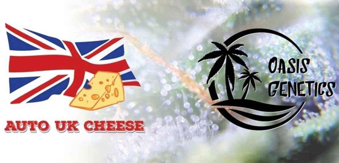 Oasis Genetics - Auto UK Cheese